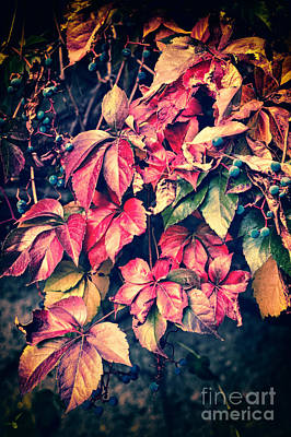 Photograph - Colorful Vine by Silvia Ganora