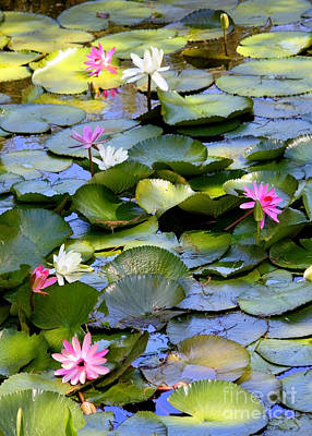 White Water Lilies Photograph - Colorful Water Lily Pond by Carol Groenen
