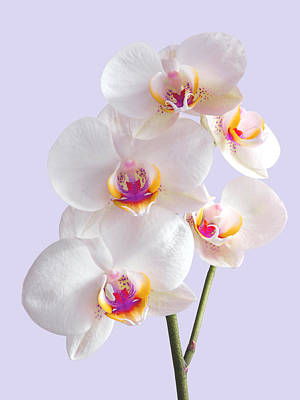 White Orchid Photograph - Colorful White Orchid On Mauve by Gill Billington