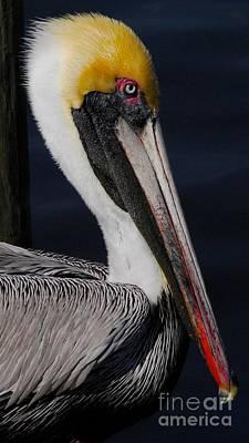 Colors Of A Pelican Art Print