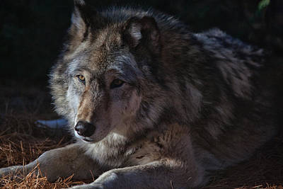Photograph - Colors Of A Wolf by Karol Livote