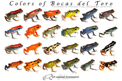 Dart Frogs Photograph - Colors Of Bocas Del Toro by JP Lawrence