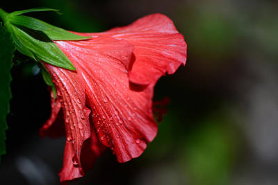 Photograph - Colors Of Love. Red Hibiscus Flower 2 by Connie Fox