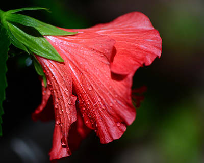 Photograph - Colors Of Love. Red Hibiscus Flower by Connie Fox