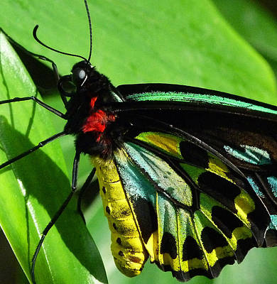 Photograph - Colors Of The Cairns Birdwing Butterfly by Margaret Saheed