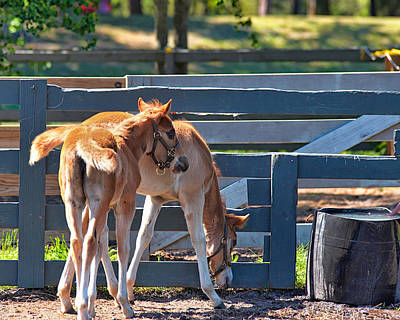 Photograph - Colts At Play by Mary Almond
