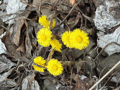 Photograph - Coltsfoot by Gene Cyr
