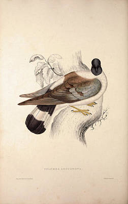 Asian Artist Drawing - Columba Leuconota, Snow Pigeon. A Species Of Bird by Quint Lox