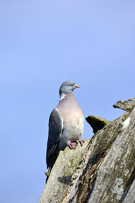 Rooftops Mixed Media - Columba Palumbus by Tommytechno Sweden