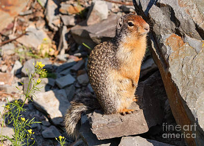 Photograph - Columbia Ground Squirrel Portrait by Charles Kozierok