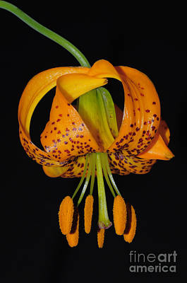 Photograph - Columbia Lily by Robert and Jean Pollock