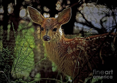 Photograph - Columbian Black-tailed Deer 2a by Sharon Talson