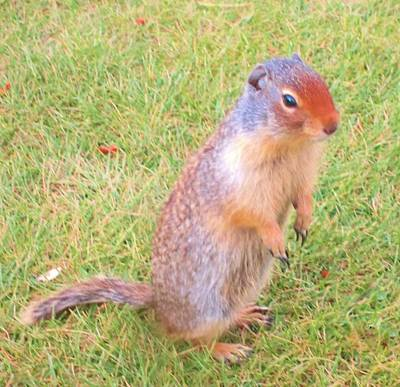 Columbian Ground Squirrel Art Print by Cathy Long