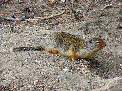 Photograph - Columbian Ground Squirrel by Phil Banks