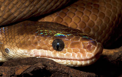 Chordata Photograph - Columbian Rainbow Boa Head Detail by Nigel Downer