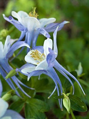 Photograph - Columbine-2 by Charles Hite