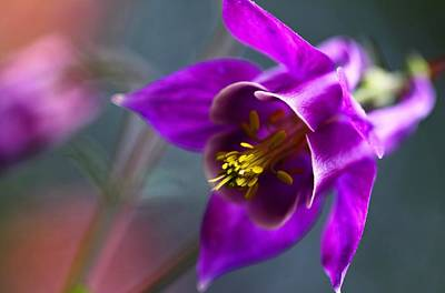Photograph - Columbine Abstract by Katherine White