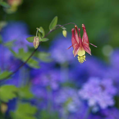 Art Print featuring the photograph Columbine And Verbena by Jane Eleanor Nicholas