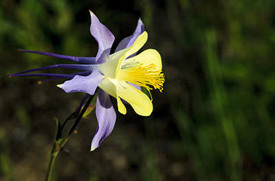 Photograph - Columbine Blosom by Richard Smith