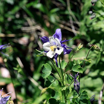 Photograph - Columbine by Chris Thomas