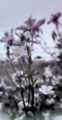 Photograph - Columbine Dreams by Ellen Heaverlo