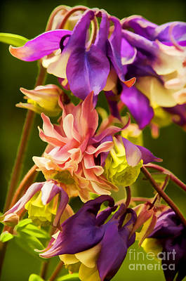 Photograph - Columbine by Gry Thunes