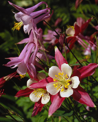 Photograph - Columbine by Harold Rau