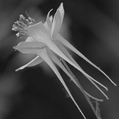 Photograph - Columbine In Black And White by Suzanne Gaff