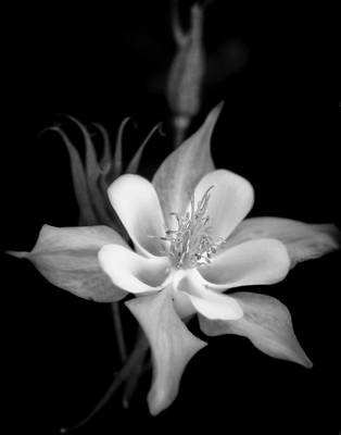 Photograph - Columbine In Monochrome by David and Carol Kelly