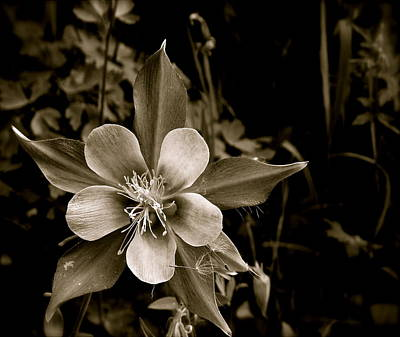 Columbine Art Print by Kim Pippinger