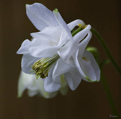 Photograph - Columbine by Michael Friedman