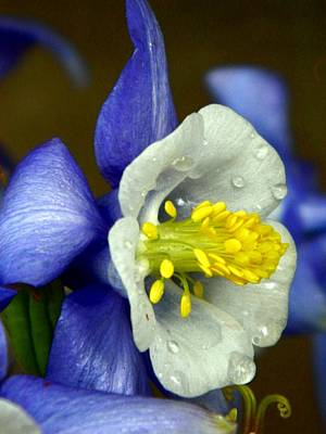 Photograph - Columbine by Michelle Frizzell-Thompson