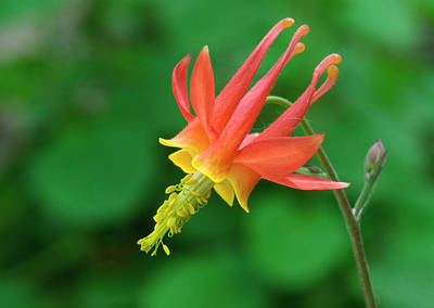 Aquilegia Photograph - Columbine by Nigel Downer
