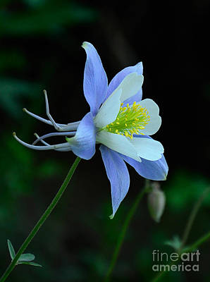 Photograph - Columbine Profile by Kelly Black