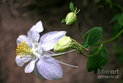 White Columbine Art Print