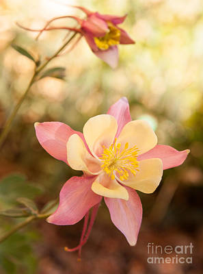 Columbine Art Print by Roselynne Broussard