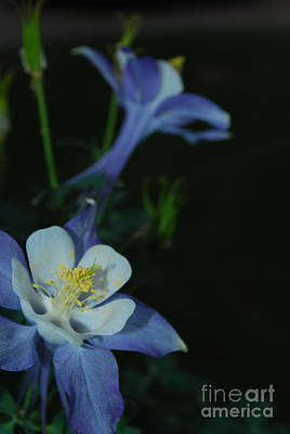 Photograph - Columbine - Waiting In The Wings by Heather Kirk