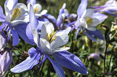 Photograph - Columbine Wildflowers by Aaron Spong