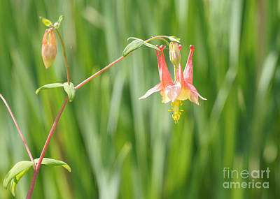 Columbine With Flower And Buds Art Print