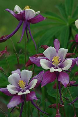 Print featuring the photograph Columbines by Ken Dietz