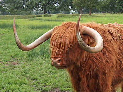 Photograph - Comb Over - Highland Cow by Gill Billington