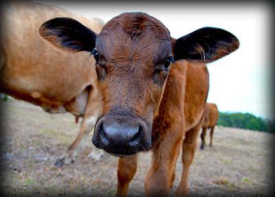 Photograph - Come Close For A Cow Kiss by Amanda Vouglas