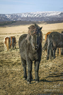 Iceland Horse Wall Art - Photograph - Come Closer by Evelina Kremsdorf