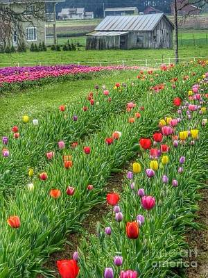 Photograph - Come See Tulips  by Susan Garren