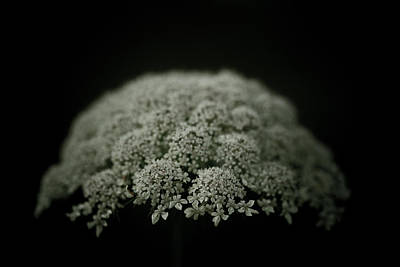 Queen Annes Lace Photograph - Comfort by Shane Holsclaw