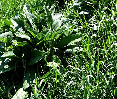Photograph - Comfrey Plant In Tall Grass by Will Borden