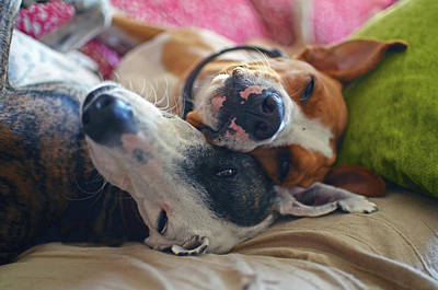 Greyhound Photograph - Comical Portrait Of Two Dogs Sharing by Nano Calvo