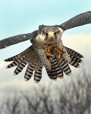 Gyr Falcon Photograph - Coming At Cha by Danny Pickens