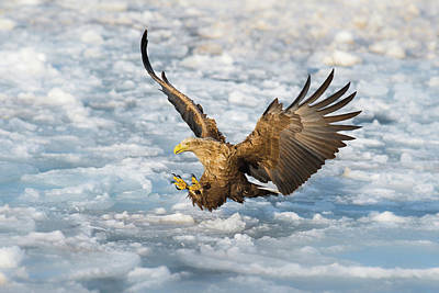 Eagle Wall Art - Photograph - Coming by C. Mei