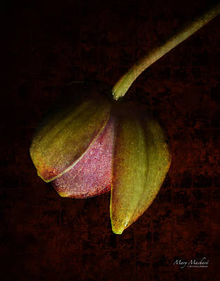 Orchid Buds Photograph - Coming Out by Mary Machare